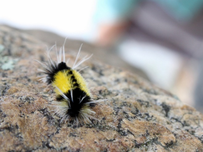 Yellow Woolly Bear Caterpillar
