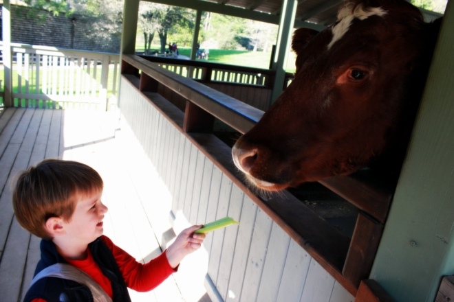 Soren loves feeding the cows