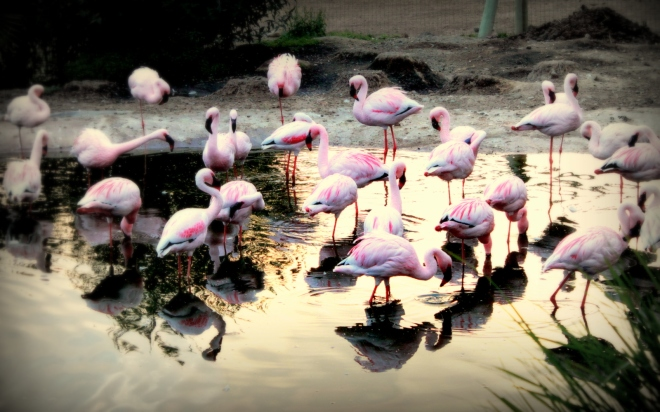 Flamingos in the early glow