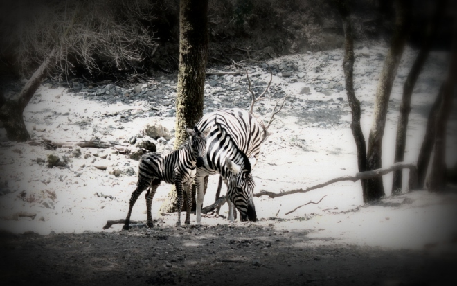 Baby zebra, getting around a little better