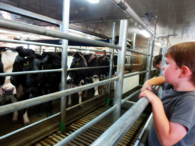 We watched the cows that made the ice cream getting milked.